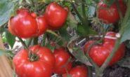 Томат Турбореактивный описание сорта помидоров с фото, отзывы