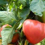 Томат Абаканский розовый: описание, фото, отзывы