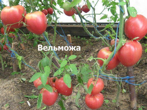 Урожайность помидор Вельможа