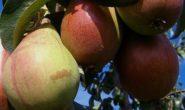 Сорт груши Русская красавица описание, характеристика с фото и видео, отзывы