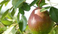 Груша Лесная красавица: описание, характеристика с фото и видео, отзывы