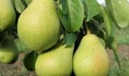 Сорт груши Северянка: описание, характеристика с фото и видео, отзывы
