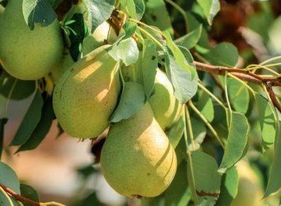 Груша Кюре описание сорта особенности выращивания