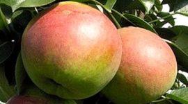 Груша Россошанская десертная: описание, характеристика с фото и видео, отзывы