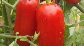 Томат Петруша - огородник: описание сорта с фото, отзывы