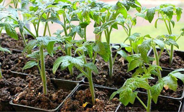 Агротехника томата