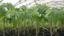 Как посадить помидоры на рассаду правильно