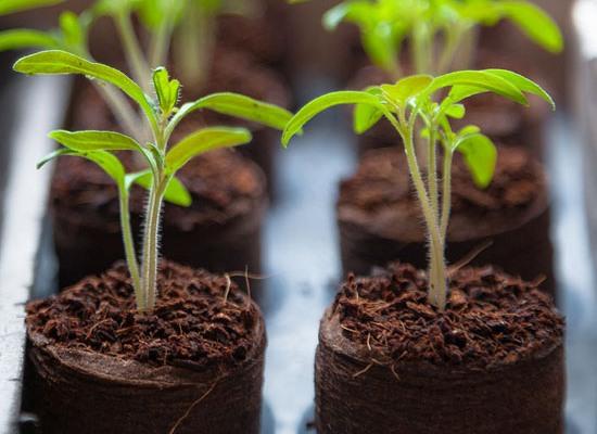 Как правильно посадить помидоры на рассаду дома на подоконнике