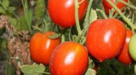 Томат Юбилейный Тарасенко: характеристика, описание сорта с фото и видео, отзывы, урожайность