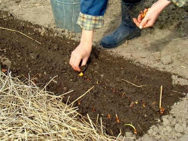 Посев лука в апреле