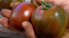 Томат Черный принц: характеристика и описание сорта, урожайность