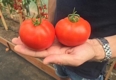 Томат Лирика: характеристика и описание сорта, урожайность