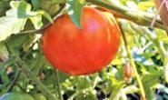 Томат Куум: характеристика и описание сорта, урожайность, отзывы