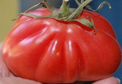 Томат Сто пудов: характеристика и описание сорта, урожайность